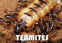 Termite bois